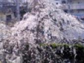 善慶寺の枝垂れ桜.jpg